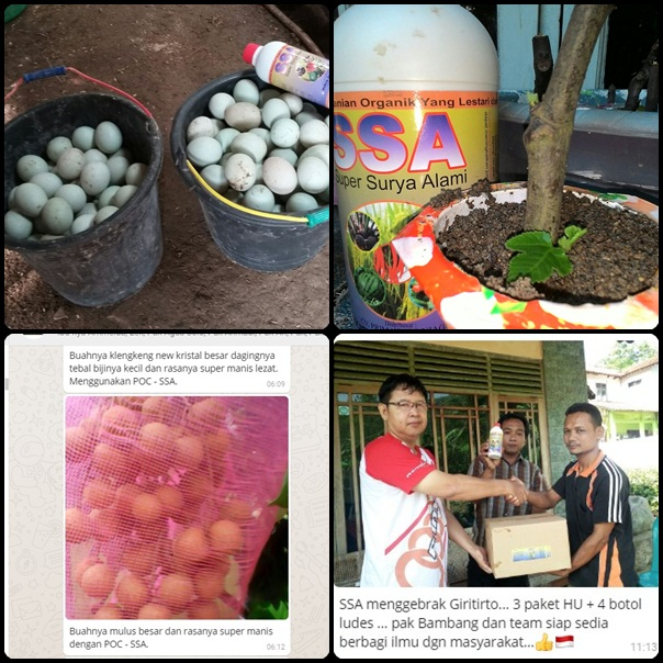 cara-beternak-bebek-pupuk-buah-kelengkeng-pupuk-buah-durian-pupuk-buah-durian